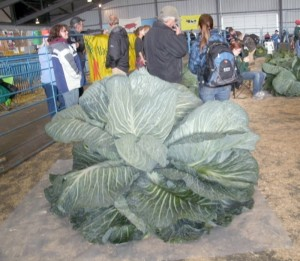 Yes, this is an Alaskan cabbage! Alaska is well known as the largest State in the USA. But, crops grow way beyond normal with 22 hours of sunlight every day during the growing season.